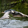 Back to safety! Black Crowned Night Heron with a catfish