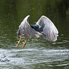 Liftoff: Black Crowned Night Heron