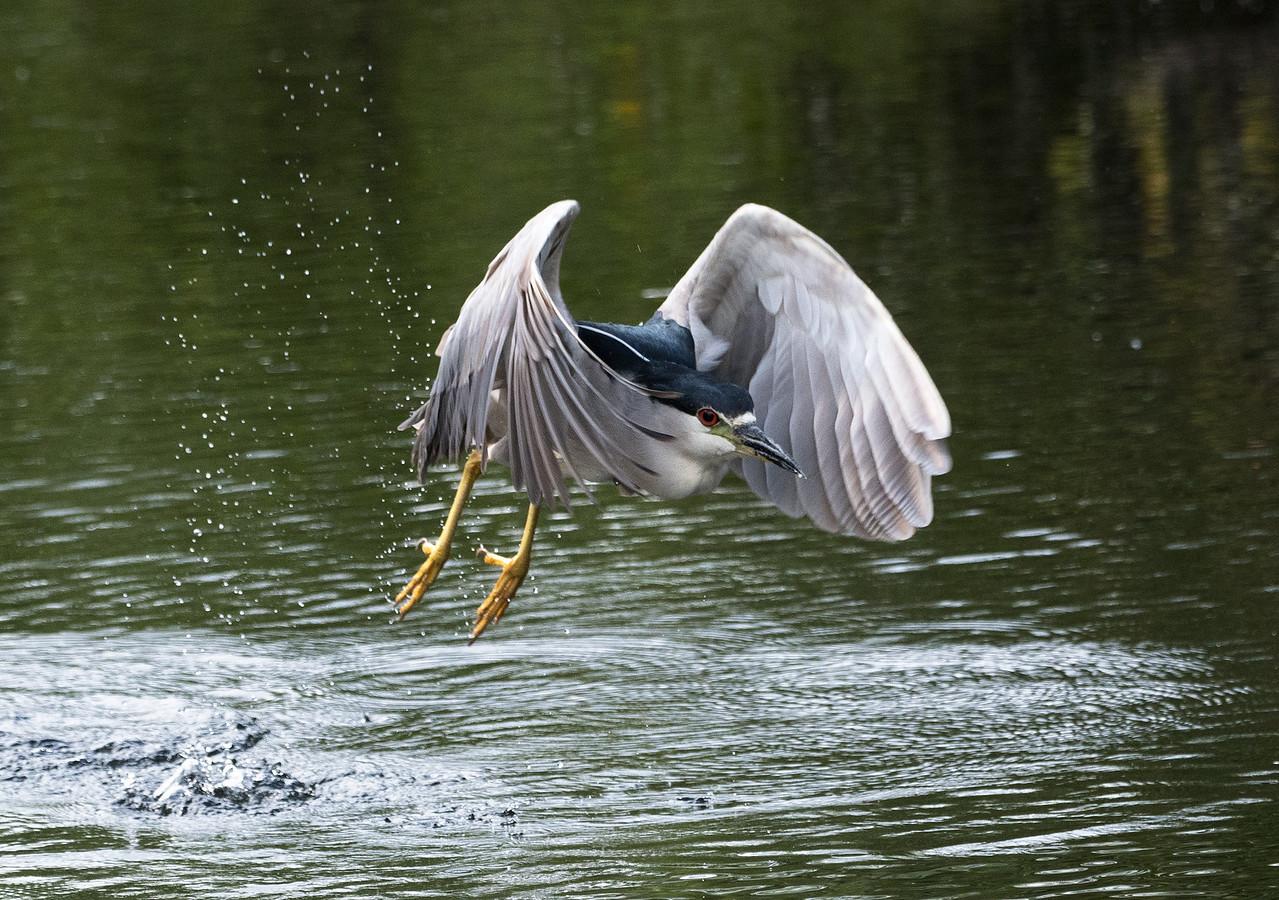 Liftoff: Black Crowned Night Heron