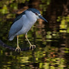 Black Crowned Night Heron in dynamic light