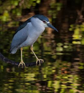 Black Crowned Night Heron in dynamic light