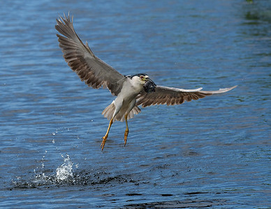 Black Crowned Night Heron LIftoff:  in flight with a catfish