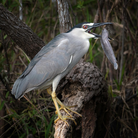 Black crowned night heron with a fish: now what? Wish I had a hand or two...