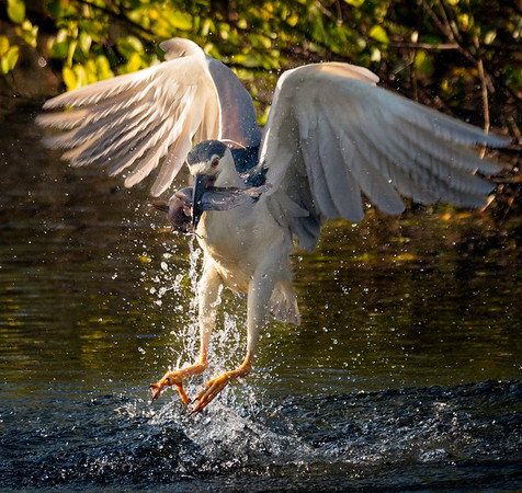 Black Crowned night heron with fish emerging from the water