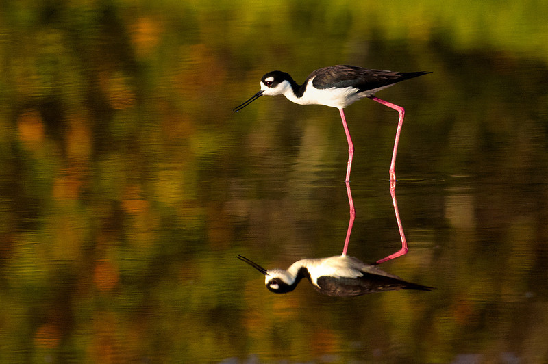 Black-necked Stilt<br /> <br /> A striking black-and-white bird with very long, thin red legs, the Black-necked Stilt is found along the edges of shallow water in open country. This bird was photographed at Eco Pond in the Everglades National Park.