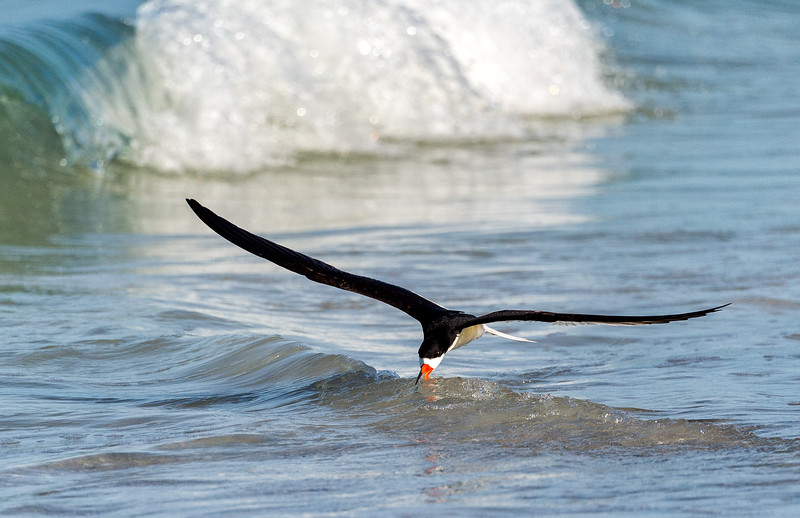 Black Skimmer working a wave