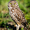 Burrowing Owl<br /> Brian Piccolo Park<br /> Cooper City, Florida