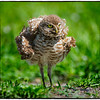 Burrowing owl<br /> Brian Piccolo Park <br /> 9501 Sheridan Street<br /> Cooper City, Florida