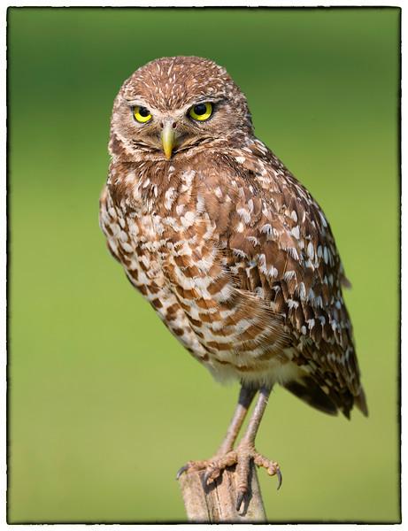 Baby Burrowing Owl<br /> Brian Piccolo Park<br /> Cooper City, Florida