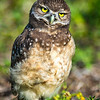 Baby Burrowing Owl<br /> Brian Piccolo Park<br /> Cooper City, Florida
