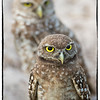 One generation of burrowing owls nurtures another
