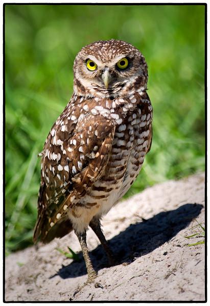 Burrowing owl<br /> Brian Piccolo Park <br /> 9501 Sheridan Street<br /> Cooper City, Florida