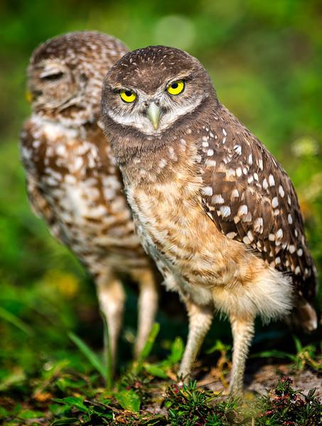 Burrowing Owls<br /> Brian Piccolo Park<br /> Cooper City, Florida, Florida