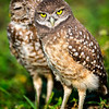 Burrowing Owls<br /> Brian Piccolo Park<br /> Cooper City, Florida, Florida