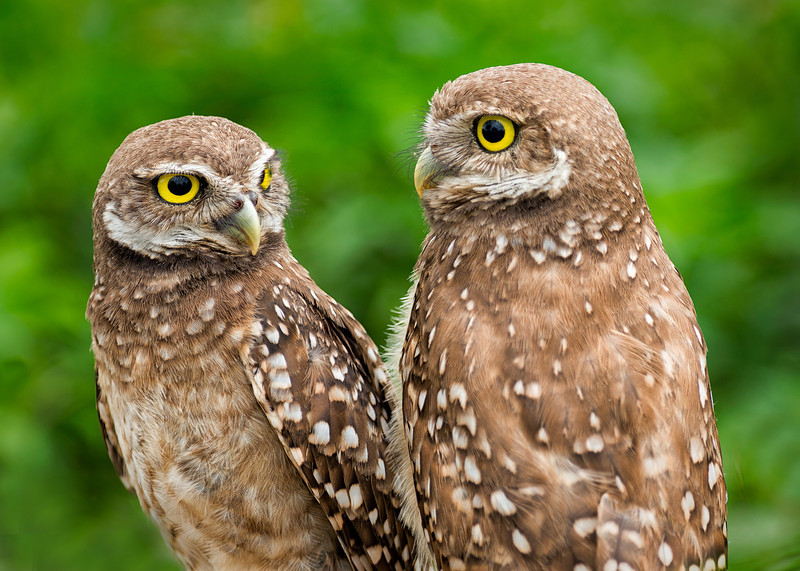 Two burrowing owls<br /> Brian Piccolo Park<br /> Cooper City, Florida