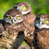 Burrowing Owls<br /> Brian Piccolo Park<br /> Cooper City, Florida