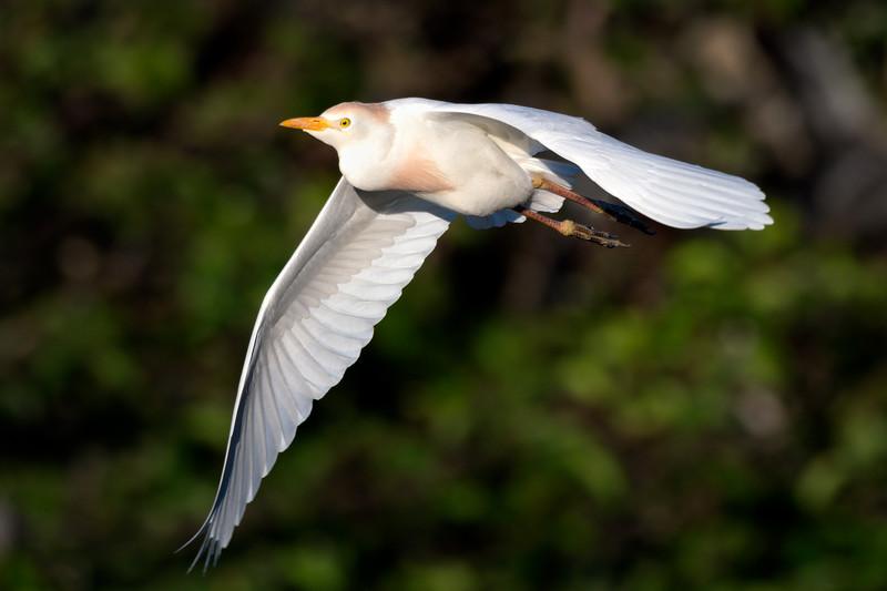 Cattle egret in flight
