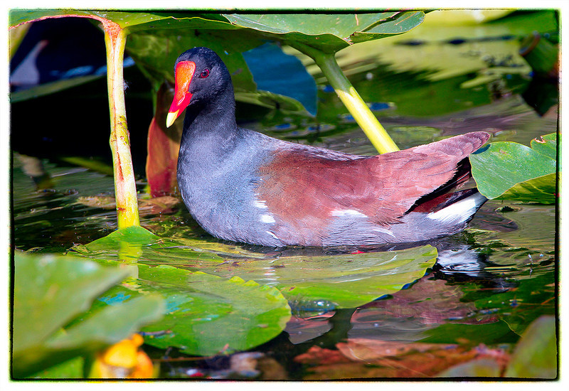 Common Moorhen<br /> Shark Valley<br /> Everglades National Park