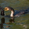 Double Crested Cormorant wtih catfish