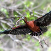Glossy Ibis with nesting materials