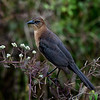 Adult female boat-tailed grackle
