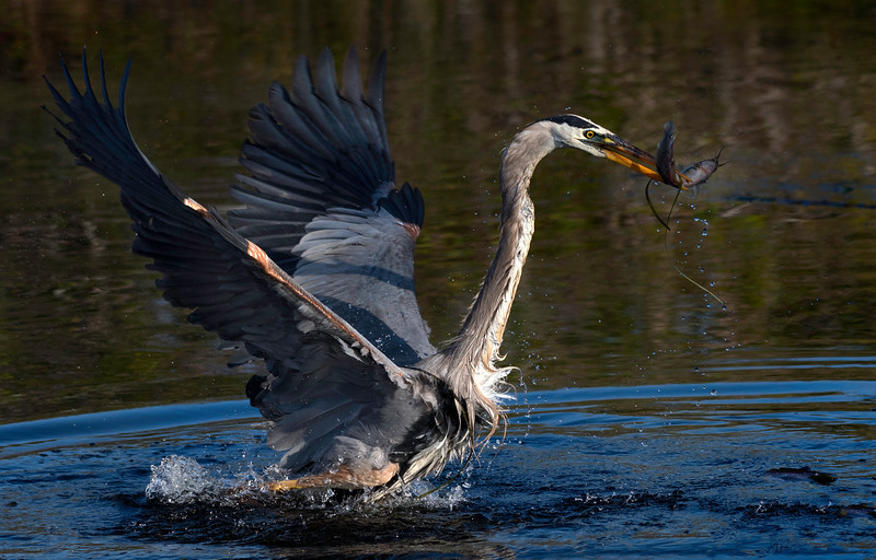Great Blue Heron with fish; let's get out of here!