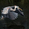 LIFT OFF! Great Blue Heron with Catfish