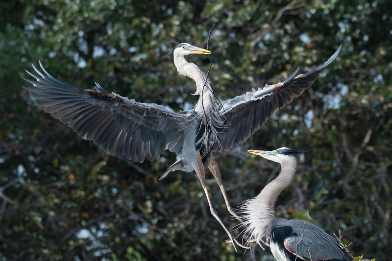 Great Blue Heron landing with nesting materials