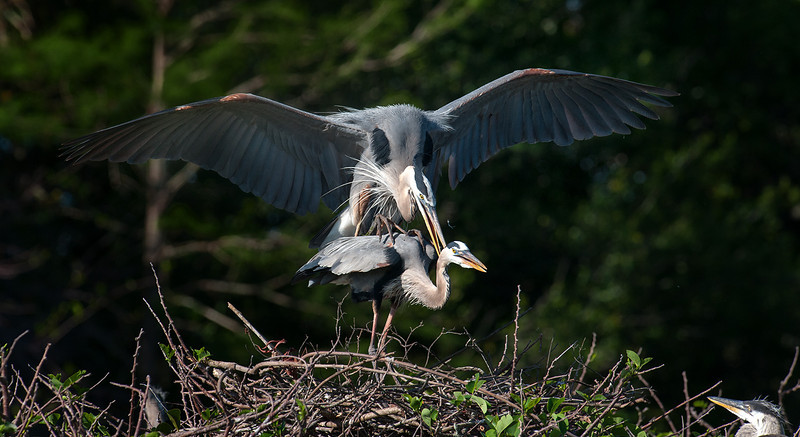 GRet Blue Herons breeding