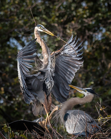 Great Blue Heron presenting nesting materials to his mate