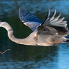 Great blue heron in early morning flight with nesting materials