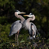 Great Blue Herons, eye to eye