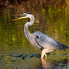 Great blue heron: how to eat a fish with no hands!