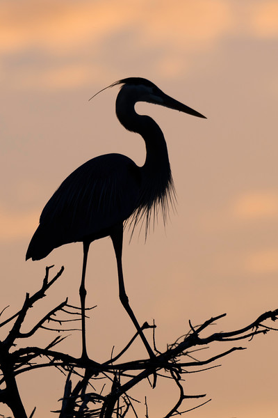 Great blue heron in early morning profile