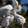 Great Egret with Chicks teaching feeding skills