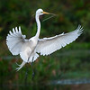Great Egret in flight with nesting materials