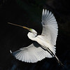 Great egret with breeding plumage in early morning flight carrying nesting materials