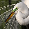 Male Great Egret in breeding plumage.