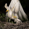 Male Great Egret with Chicks on the nest