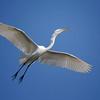 Great egret in breeding plumage<br /> Alligator Farm, St. Augustine, Florida