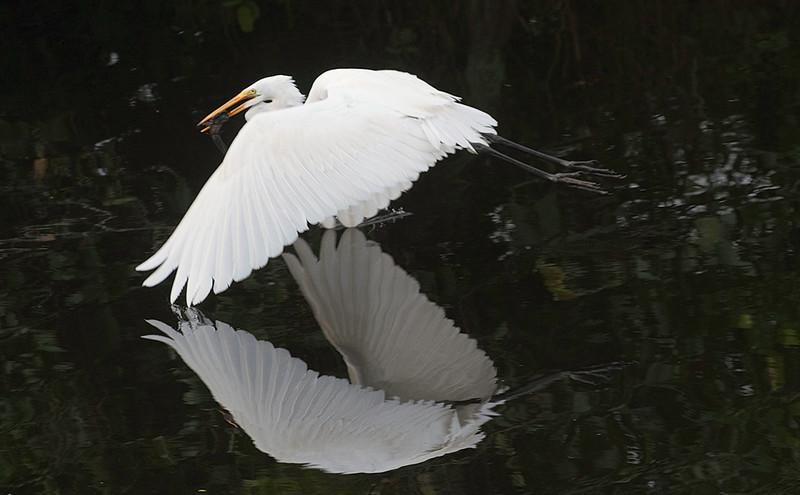 White egret<br /> Shark Valley<br /> Everglades National Park