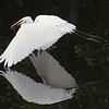 White egret<br /> Shark Valley<br /> Everglades National Park