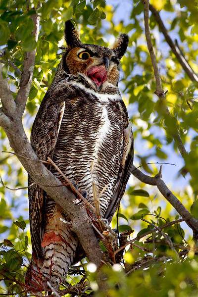 Great Horned Owl<br /> Shark Valley<br /> Everglades National Park
