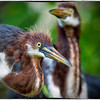 Tricolored herons<br /> Alligator Farm<br /> St. Augustine, Florida