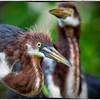 Tricolored herons<br /> Alligator Farm<br /> St. Augustine, Florida
