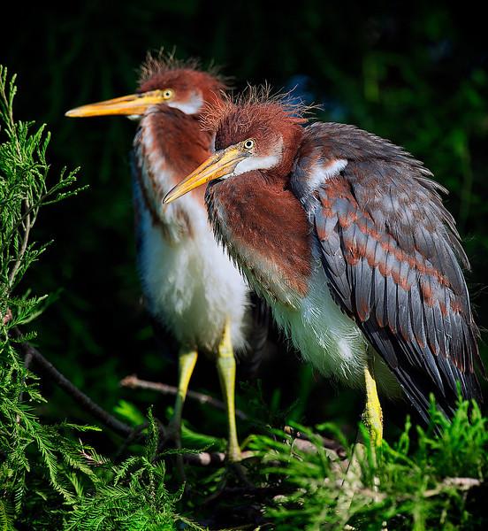 Tricolored heron chicks<br /> Alligator Farm<br /> St. Augustine, Florida