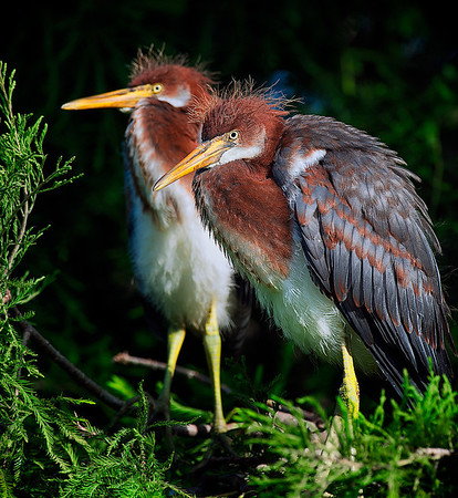 Tricolored heron chicks Alligator Farm St. Augustine, Florida