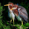 Tricolored heron chicks<br /> Alligator Farm<br /> St. Augustine, Florida