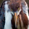 Tricolored heron chick<br /> Alligator Farm<br /> St. Augustine, Florida