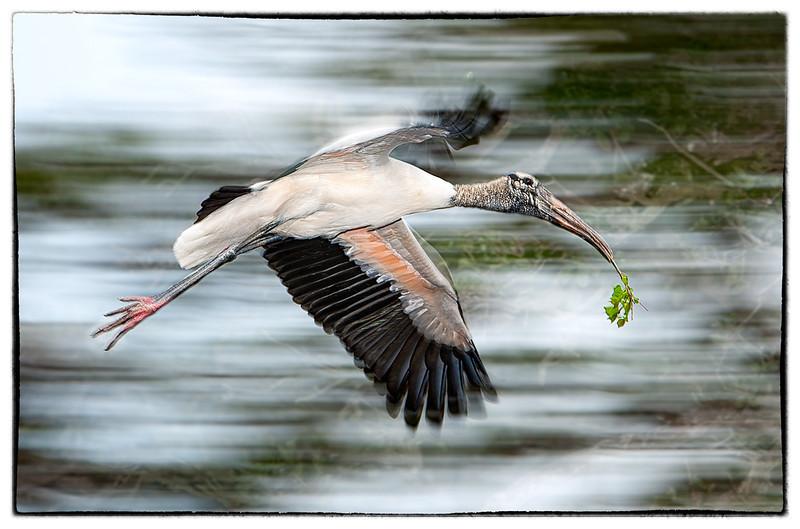 Wood stork with nesting materials<br /> Alligator Farm<br /> St. Augustine, Florida